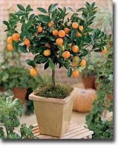 potted-calamondin