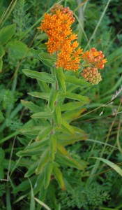 599px-Butterfly_Weed_Whole_Flowering_Plant_1676px