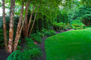 landscape bed--birches and arbs